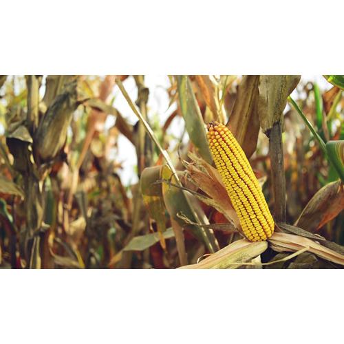 Organic Maize