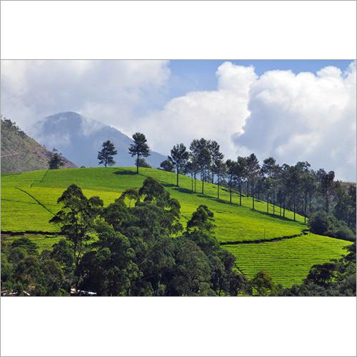Tea Plantation Visit