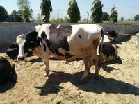 hf cows in farms