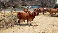 pure sahiwal cows