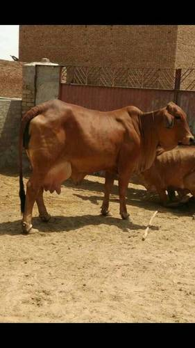 Sahiwal cows at Parkash Dairy Farm