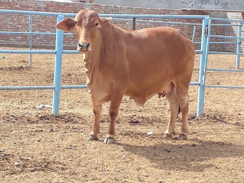Sahiwal pregnant cow in karnal