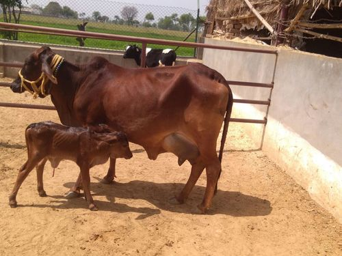 Sahiwal milking cow in karnal