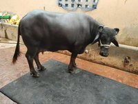 Murrah buffalo in karnal