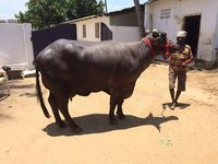 pure murrah buffalo in karnal high milk