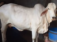tharparkar cow supplier