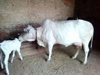 supplier tharparkar cow