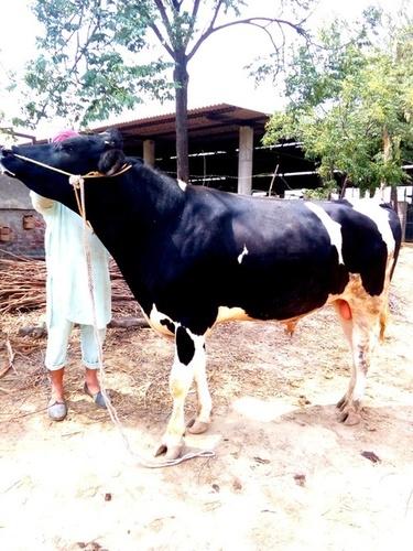 hf cow bull