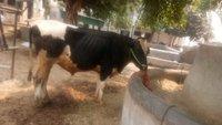 hf cow bull in karnal