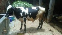 hf cow bull ndri