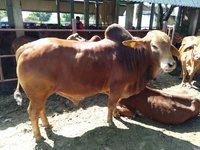 sahiwal bull breeder in karnal