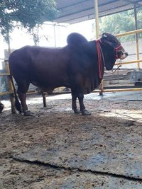 sahiwal bull supplier...