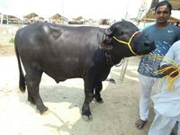 pure murrah breed bull in karnal
