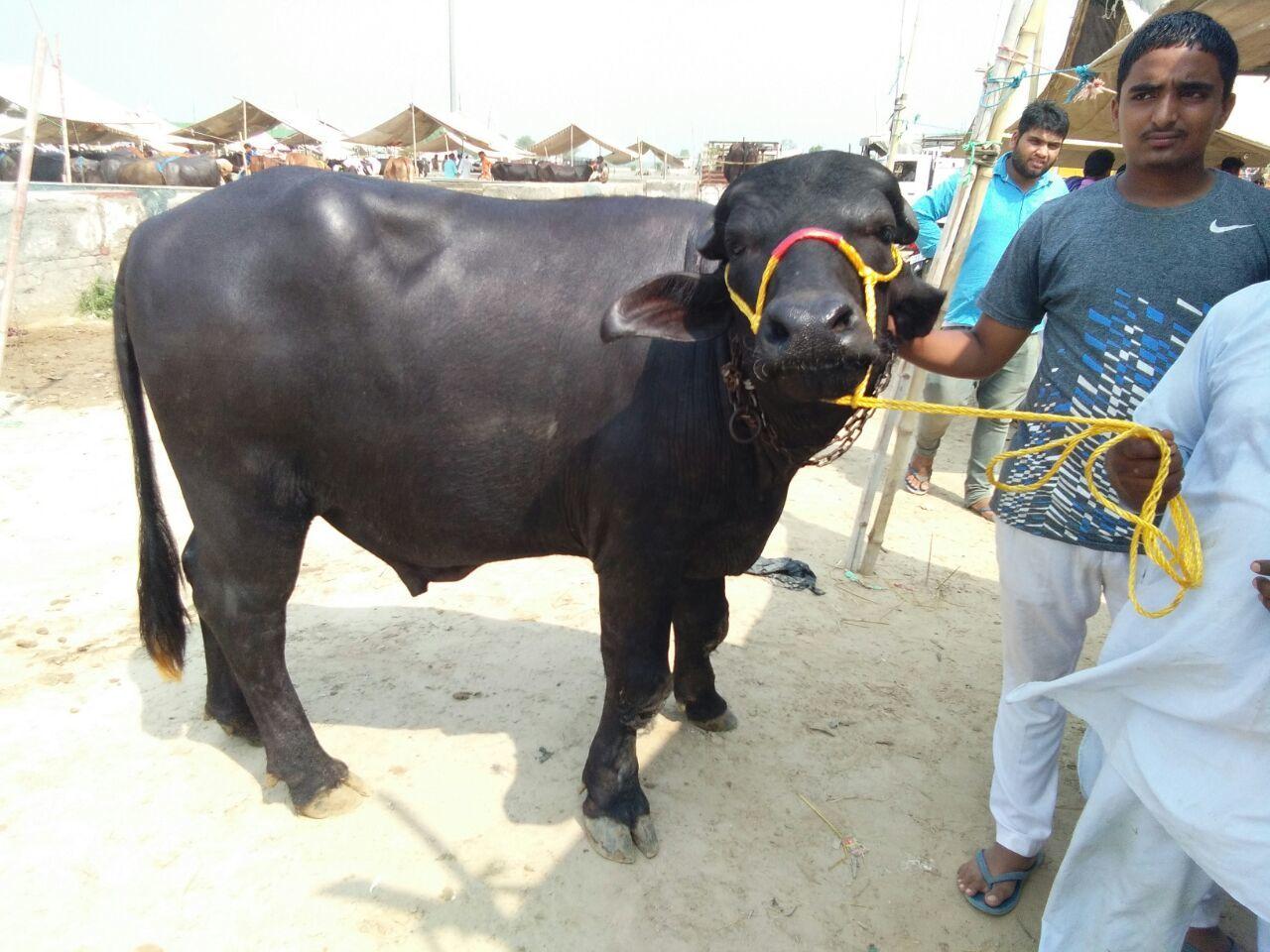 pure murrah breed bull in karnal