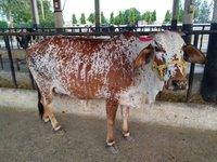 rathi cow karnal
