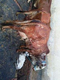 rathi cow breeder