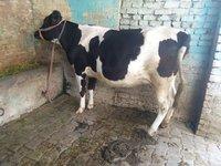 hf cow heifer