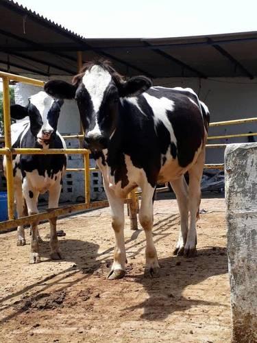 hf heifer breeder
