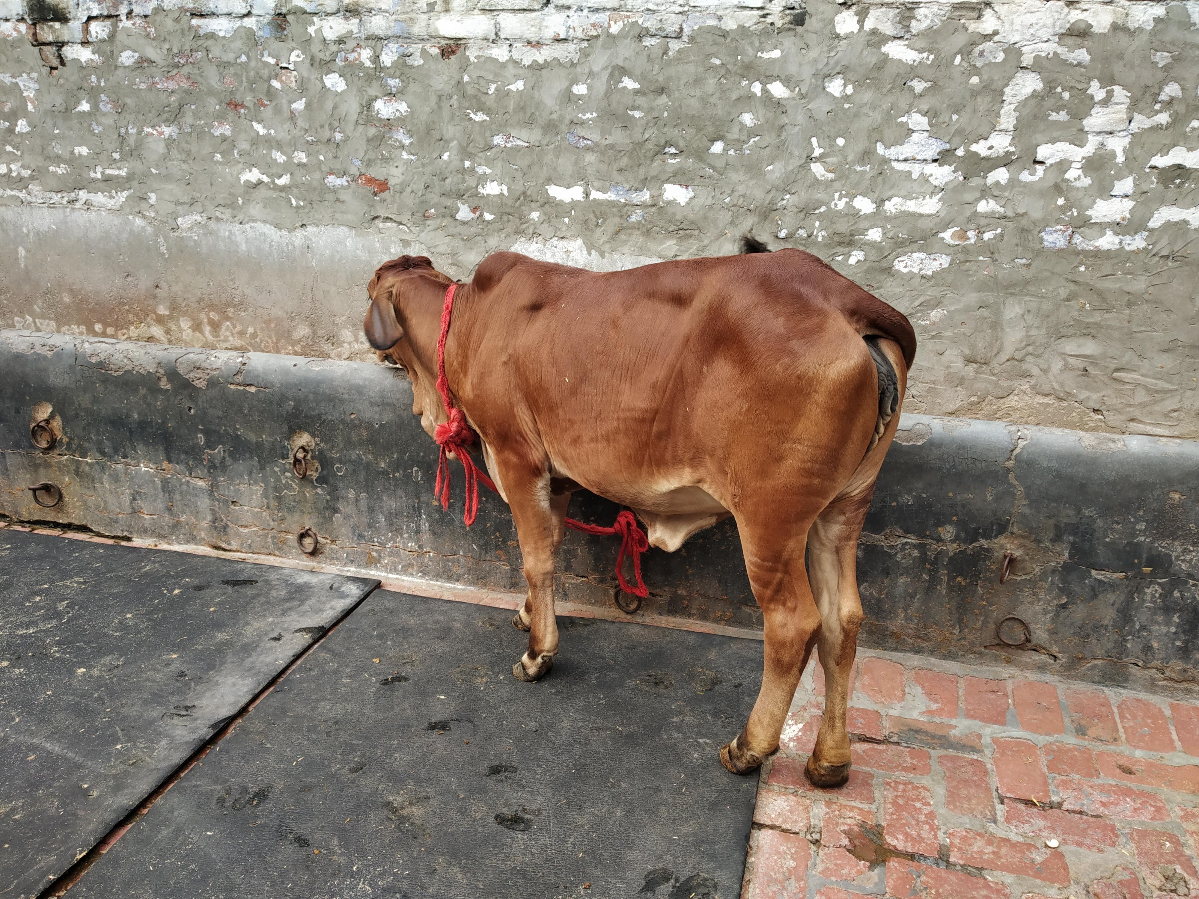 sahiwal cow heifers