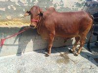 sahiwal cow heifers haryana