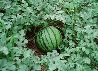 TARBUJ / WATER MELON