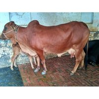 Natural Sahiwal Cow