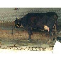 Black Hf Cow