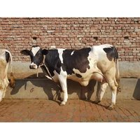 Dairy Heifer Cow