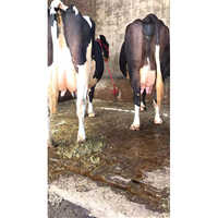 Holstein Breed Cow
