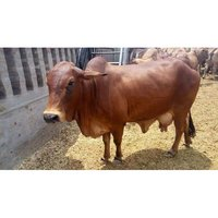 Red Sahiwal Cow