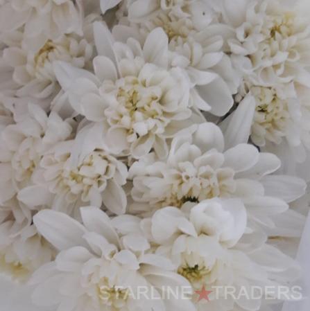 Fresh Cut Carnation Flowers
