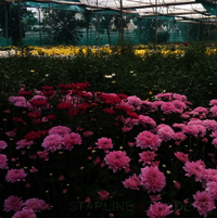 Indian Fresh Cut Chrysanthemum Flower