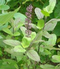 Tulsi Plants