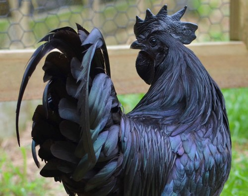 Kadaknath Livestock Cockerel