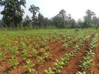 Sarpagandha Plants, medicinal herbs, medicinal plants