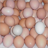 Country Aseel Hatching Eggs
