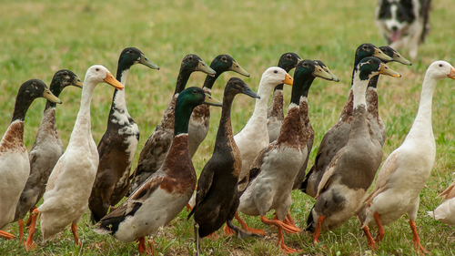 Indian Ducks