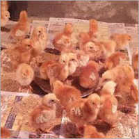 Vanaraja Brown Chicks