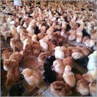 Multi Colour Chicks