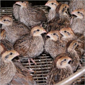 Quails Chicks
