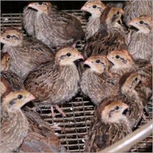 Quails Chicks