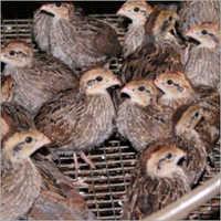 Quails Chicks & Hatching Eggs