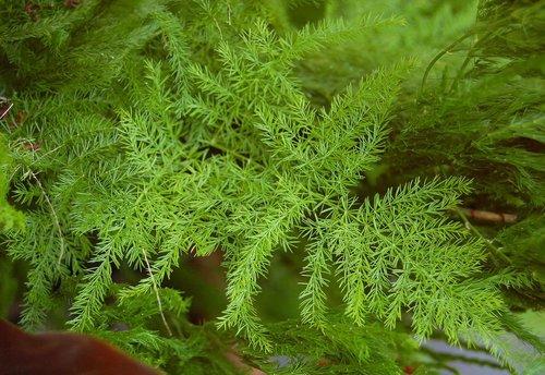 Nepali Shatavari Plants, yellow satavar
