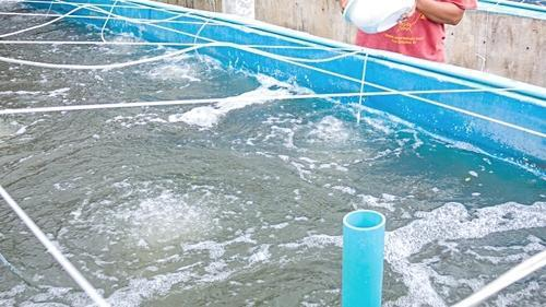 PRAWN HATCHERIES DIFFUSED SYSTEMS