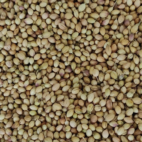 Fresh Corianders Seeds
