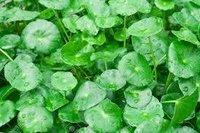 Centella Asiatica Leaf
