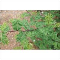 Acacia Catechu Khadir Chhal Extract