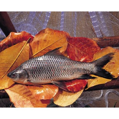 Rohu Fish (Labeo Rohita)