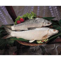 Mrigal Carp Fish (Cirrihirus Mrigala)