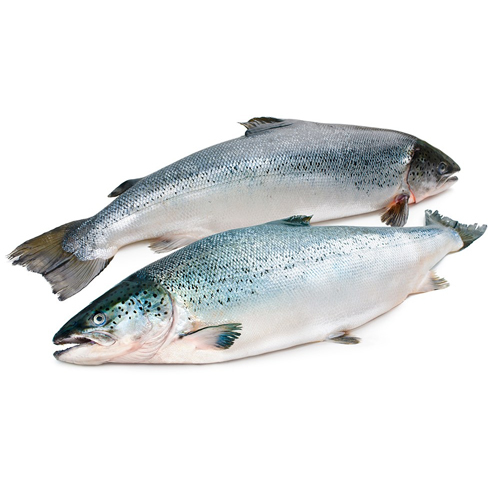 Atlantic Salmon (Salmo Salar ) and Trout Salmon ( Oncorhynchus Mikyss )
